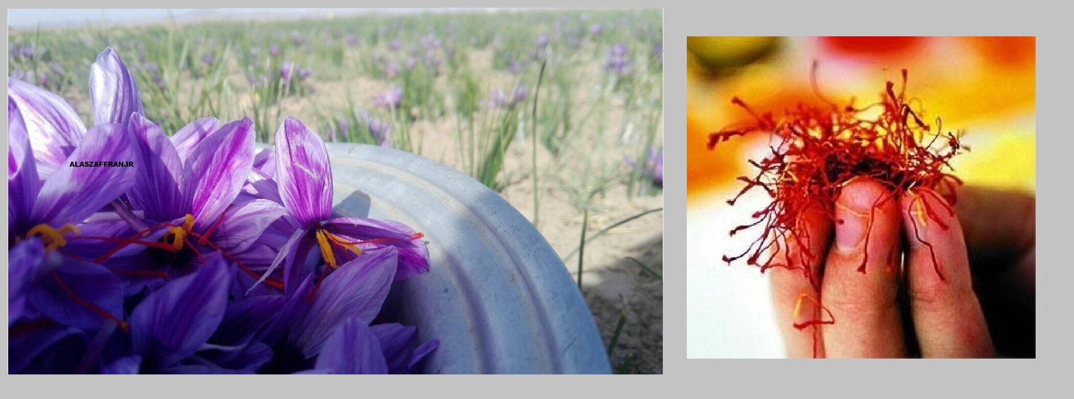کاشت زعفران و زعفران صادراتی