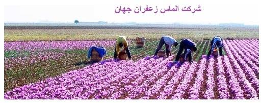 صادرات زعفران فله