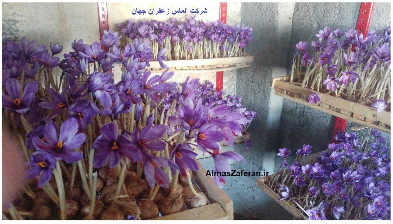 وسایل مورد نیاز برای کشت زعفران گلخانه ای