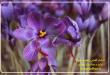 مزایای کشت زعفران در گلخانه