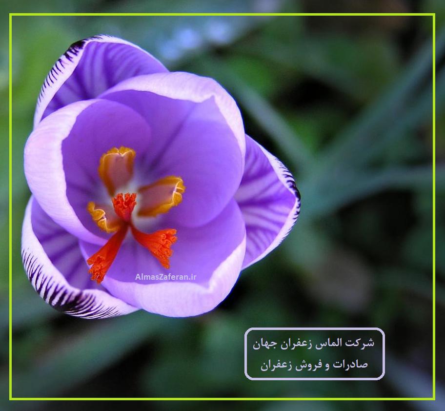 قیمت خرید زعفران صادراتی امروز چند است