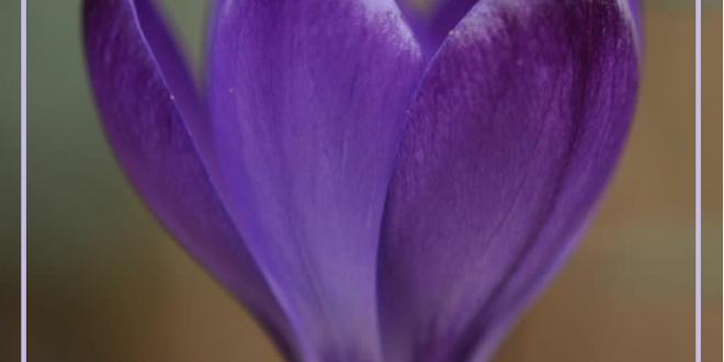 bulk-exported-saffron-price-in-saffron-market