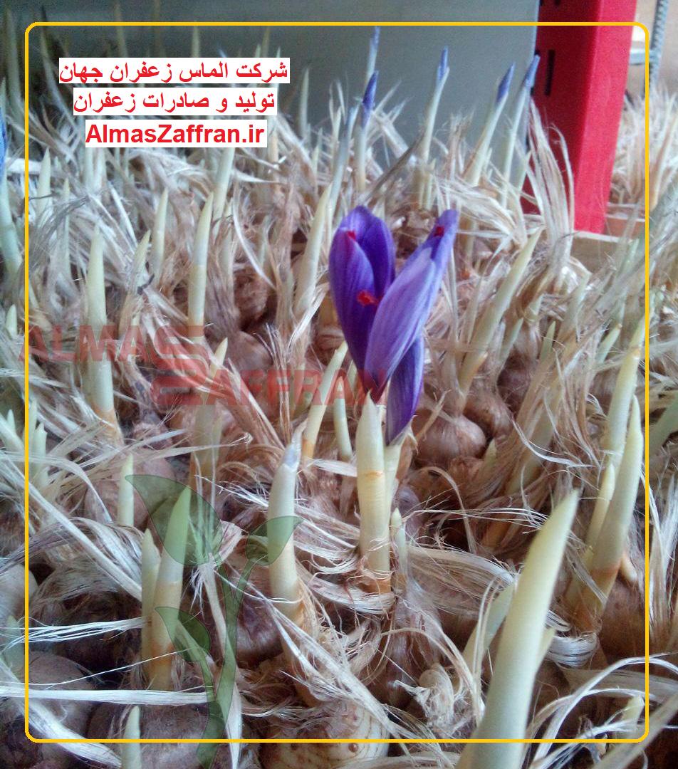 کشت زعفران گلخانه ای