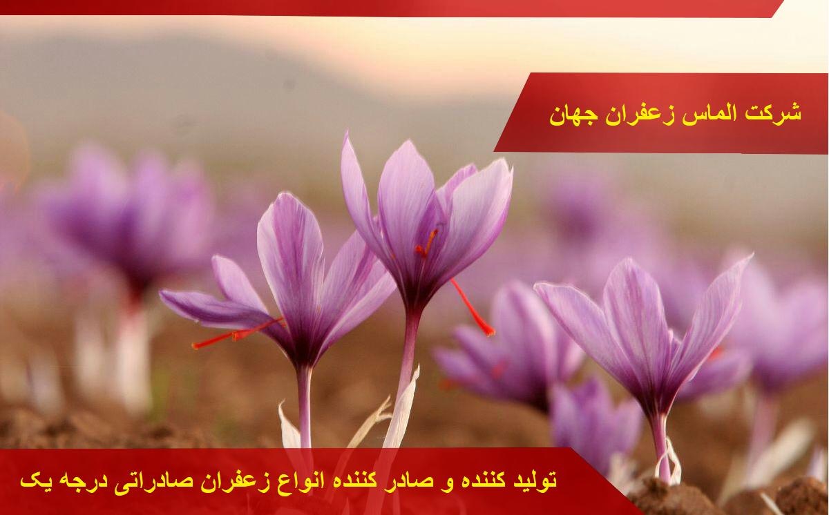 ویژگی های پیاز زعفران گلخانه ای