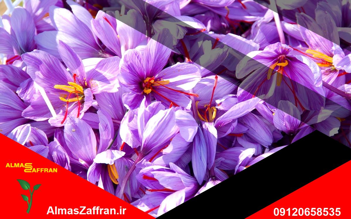 کشت زعفران و تولید زعفران و قیمت خرید زعفران از کشاورز