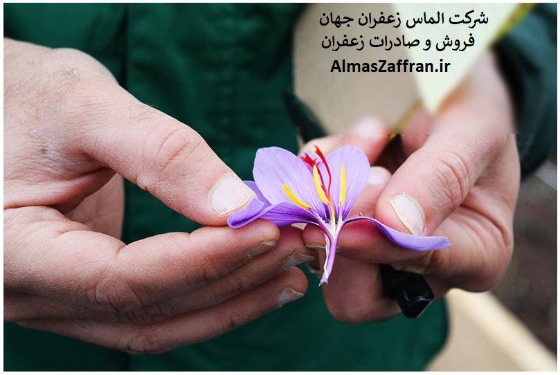 خرید زعفران اصل از کشاورز