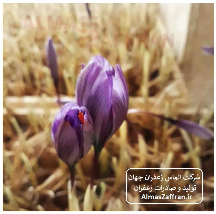 دوره آموزش کشت زعفران در گلخانه