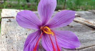 saffron-torbat-heydariyeh